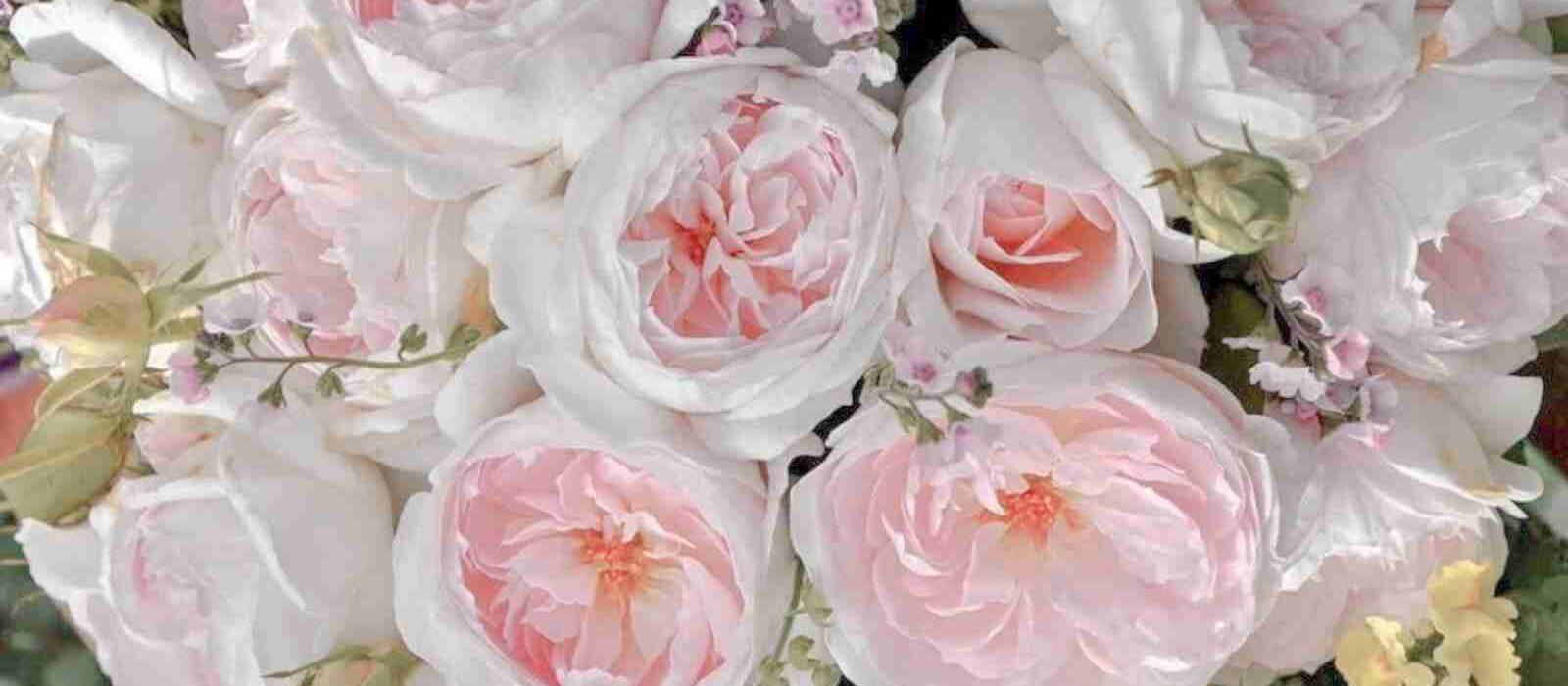 Rose Inglesi: eleganti e profumate